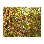 Changing Maple Tree Green and Gold Autumn Canvas Print