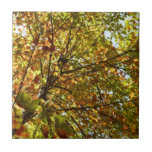 Changing Maple Tree Green and Gold Autumn Ceramic Tile
