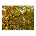 Changing Maple Tree Green and Gold Autumn Postcard