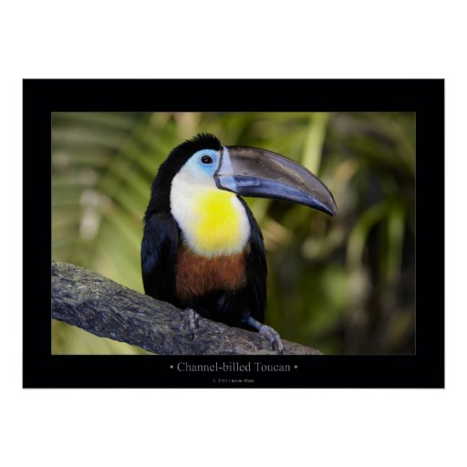 Channel-billed Toucan Poster