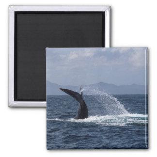 Chapoteo de la cola de la ballena jorobada imán cuadrado