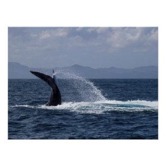 Chapoteo de la cola de la ballena jorobada perfect poster