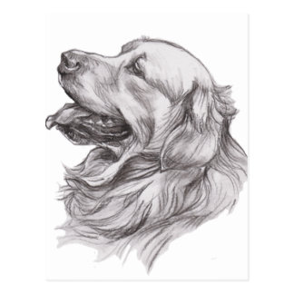 Charcoal portrait drawing of a Golden Retriever Postcard
