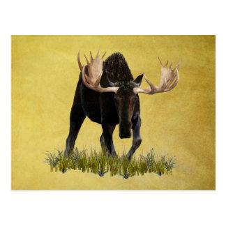 Charging Bull Moose Postcard