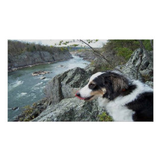 Charlie at Great Falls~Border Collie Poster