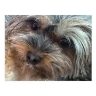 Charlotte the little Dog Postcard