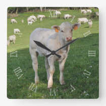 Charolais calf in a field square wall clock