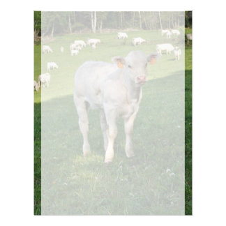 Charolais calf letterhead
