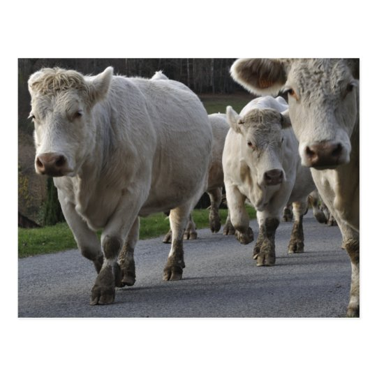 Charolais cattle on the road postcard