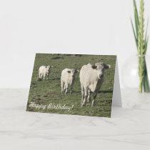 Charolais cow and calves birthday card