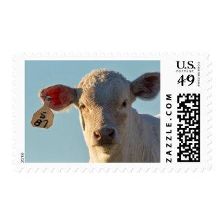 Charolaise Beef Calf Near Augusta, Montana, USA Postage