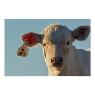Charolaise Beef Calf Near Augusta, Montana, USA Poster