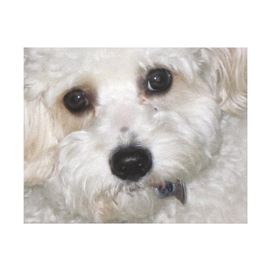 Chase Cavachon Canvas Wrapped Print