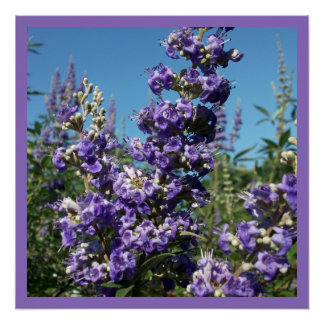 Chaste Tree Purple Flowers Poster