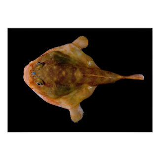 Chaunax Stigmaeus Fish Poster