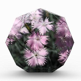 Cheddar pink (Dianthus gratianopolitanus) Acrylic Award