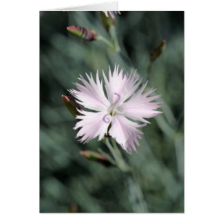 Cheddar pink (Dianthus gratianopolitanus) Card