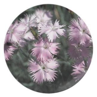 Cheddar pink (Dianthus gratianopolitanus) Dinner Plate