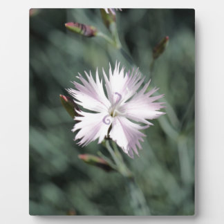 Cheddar pink (Dianthus gratianopolitanus) Plaque