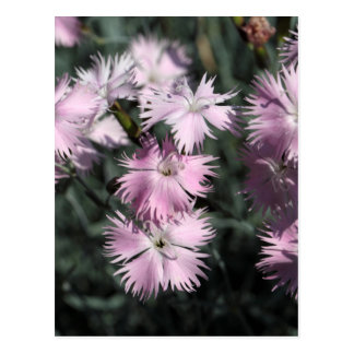 Cheddar pink (Dianthus gratianopolitanus) Postcard