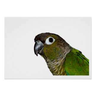 Cheeked verde Conure Póster