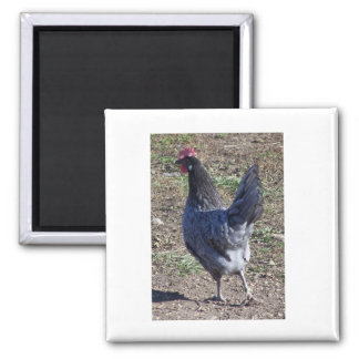Cheeky Blue Andalusian Hen Magnet