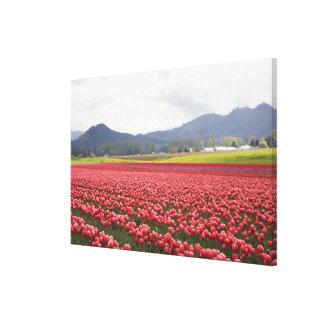 Cheerful tulip fields carpet Skagit Valley in Canvas Print