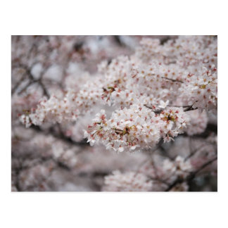 Cheery Blossom Postcard