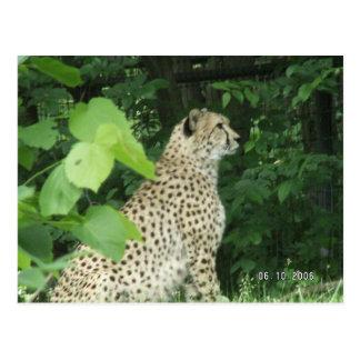 cheeta postcard