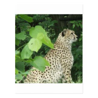 cheetah2 postcard