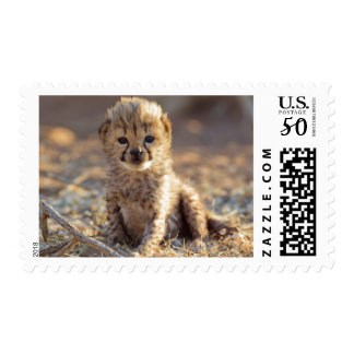 Cheetah 19 days old male cub postage
