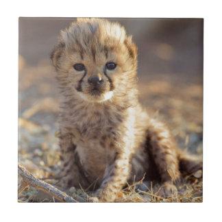 Cheetah 19 days old male cub tile