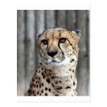 Cheetah_2151 Post Card