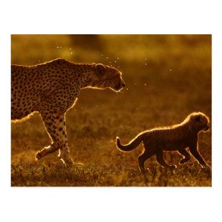 Cheetah (Acinonyx Jubatus) And Cub Walking Postcard