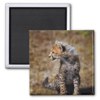 Cheetah (Acinonyx Jubatus) as seen in the Masai 2 2 Inch Square Magnet