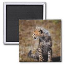 Cheetah (Acinonyx Jubatus) as seen in the Masai 2 Magnet
