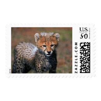 Cheetah (Acinonyx Jubatus) as seen in the Masai 3 Postage
