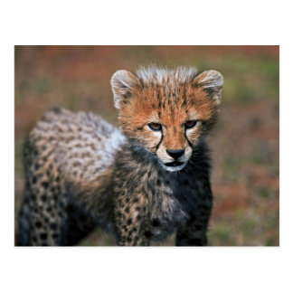 Cheetah (Acinonyx Jubatus) as seen in the Masai 3 Postcards