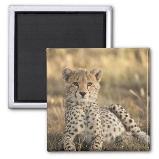 Cheetah, Acinonyx jubatus, cub laying downin 2 Inch Square Magnet
