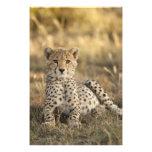 Cheetah, Acinonyx jubatus, cub laying downin Photo Print