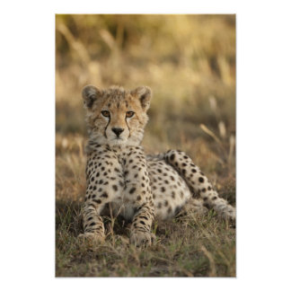 Cheetah, Acinonyx jubatus, cub laying downin Poster