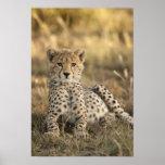 Cheetah, Acinonyx jubatus, cub laying downin Print