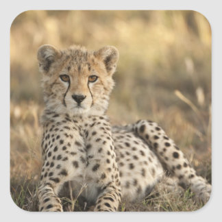 Cheetah, Acinonyx jubatus, cub laying downin Square Sticker