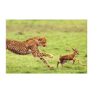 Cheetah (Acinonyx Jubatus) Cub Practicing Canvas Print