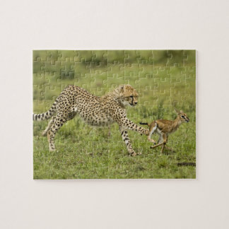Cheetah, Acinonyx jubatus, cubs hunting and Jigsaw Puzzle