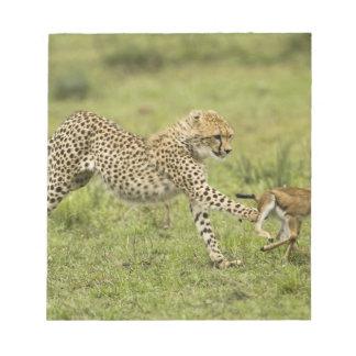 Cheetah, Acinonyx jubatus, cubs hunting and Notepad
