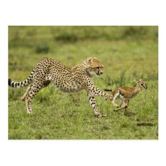 Cheetah, Acinonyx jubatus, cubs hunting and Post Cards