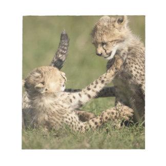 Cheetah, Acinonyx jubatus, cubs playing in the Notepad
