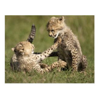 Cheetah, Acinonyx jubatus, cubs playing in the Post Card