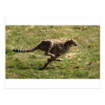 Cheetah (Acinonyx_jubatus) full gallop Postcard
